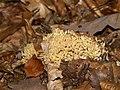Ramaria botrytis (habitus).jpg