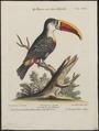 Ramphastos tucanus - 1700-1880 - Print - Iconographia Zoologica - Special Collections University of Amsterdam - UBA01 IZ19300234.tif