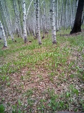 Allium ursinum - Ramsons in the Zakamensky district of Buryatia, Russia