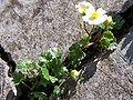 Ranunculus alpestris a1.jpg