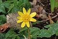 Ranunculus ficaria RJB.jpg