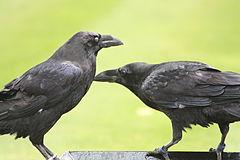 Ravens-tower-of-london