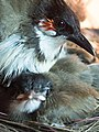 Red-Whiskered Bulbul with Chick.jpg