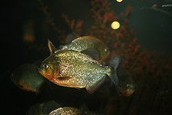 Red-bellied Piranha (Pygocentrus nattereri) (3366488907).jpg