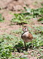 Red-capped lark, Calandrella cinerea, at Mapungubwe National Park, Limpopo, South Africa (23514690674).jpg