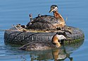 Red-necked Grebe family (18536744442).jpg