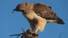 ဝှာင်:Red-tailed Hawk Eating a Rodent 1080p 60fps.ogv