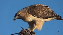 Fichier:Red-tailed Hawk Eating a Rodent 1080p 60fps.ogv