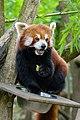 Red Panda (27961366058).jpg