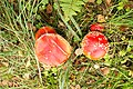 Red fly agarics - panoramio.jpg