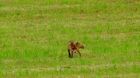 Файл:Red fox (Vulpes vulpes) looking for a mouse.webm