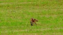 Fichier:Red fox (Vulpes vulpes) looking for a mouse.webm