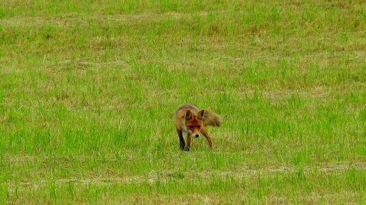 File:Red fox (Vulpes vulpes) looking for a mouse.webm