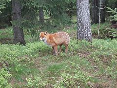 Red fox norway 2.JPG
