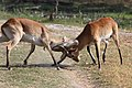 Red lechwe fighting 1.jpg