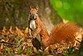 Red squirrel (50344119788).jpg