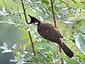 Red whiskererd bulbul from Savandurga IMG 9516.jpg