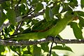 Red winged parrot (11724546805).jpg