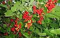 Redcurrant (Ribes rubrum) II.jpg