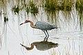Reddish Egret (24155034715).jpg