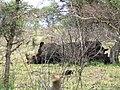 Rhinos rest (393889032).jpg