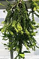 Rhipsalis mesembryanthoides 1zz.jpg