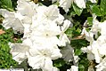 Rhododendron Angela Place 2zz.jpg
