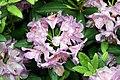 Rhododendron catawbiense Grandiflorum 11zz.jpg
