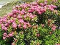 Rhododendron ferruginum (Pyrenees) 7.JPG