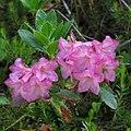 Rhododendron hirsutum 2 RF.jpg