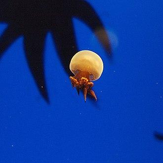 Jellyfish as food - Rhopilema esculentum is a species of edible jellyfish