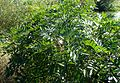 Rhus copallinum kz2.jpg