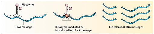 Meccanismo schematizzato del taglio di filamenti di RNA da parte di un ribozima.