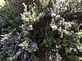 Rich thyme bushes of tiny blue flower above the Pavillion.jpg