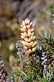 Richea Scoparia-2.jpg