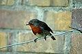 Robin o the Wire (537809489).jpg