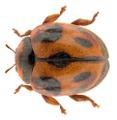 Rodolia cardinalis (Mulsant, 1850).png