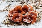 Roodbruine schijnridderzwam (Lepista flaccida) in een winters decor 01.jpg