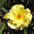 Rosa-sunflare.jpg