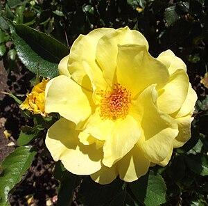 Rosa 'Sun Flare' - Image: Rosa sunflare