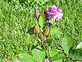 Rosa 'Dioressence' Delbard-Chabert RPO.jpg