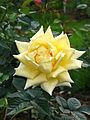 Rosa 'Landora' 01.jpg