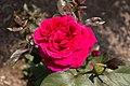 Rosa 'Mister Lincoln' IMG 0184.jpg