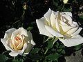 Rosa Shirotae03.jpg