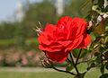 Rosa Trumpeter.jpg