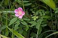 Rosa acicularis 04.jpg