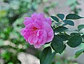 Rosa indica - 20120730.jpg