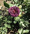 Rosa midnight blue.jpg