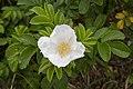 Rosa rugosa 28.jpg