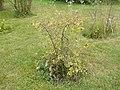 Rosa villosa plant (02).jpg